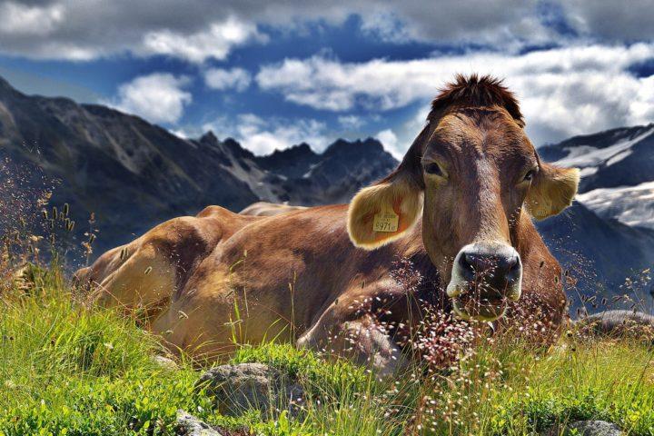cow-1287866_1920